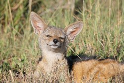 Is it us, or is this jackal smiling?